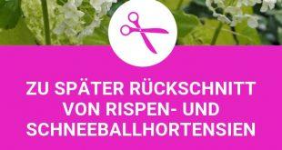 Die 3 größten Fehler beim Hortensienschnitt: Später Rückschnitt von Rispen- u. Schneeballhortensien