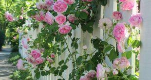 Gartengestaltung mit Rosen – Tipps für einen schönen Rosengarten
