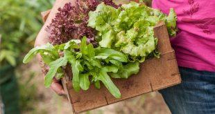 Rund ums Jahr eigenen Salat ernten - erprobter Anbauplan