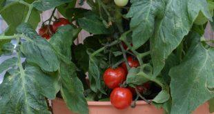 Tomoffel: Tomaten auf Kartoffeln veredeln (Video-Anleitung)