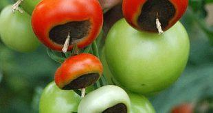 Wenn Tomaten und Zucchini faulen - kraut & rüben