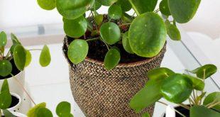 Pilea Pflanze - Wie man Ableger nimmt