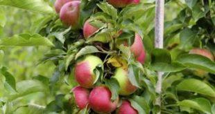 Säulenäpfel richtig schneiden und pflegen