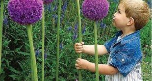 How to Grow Amazing Alliums
