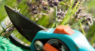 Verblühten Lavendel im Sommer schneiden