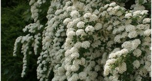 White Spirea (Wedding Veil) was in the front garden interspersed with roses.